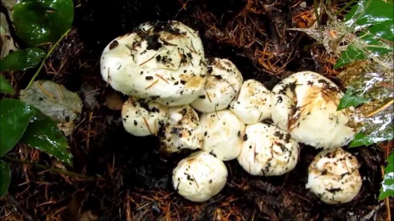 pine mushrooms